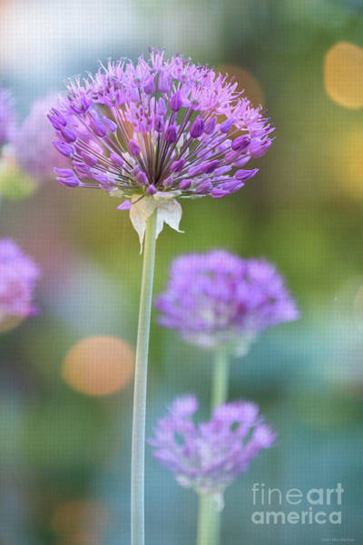 Wall Art - Photograph - Allium - Happy In The Summer Sun by Mary Machare