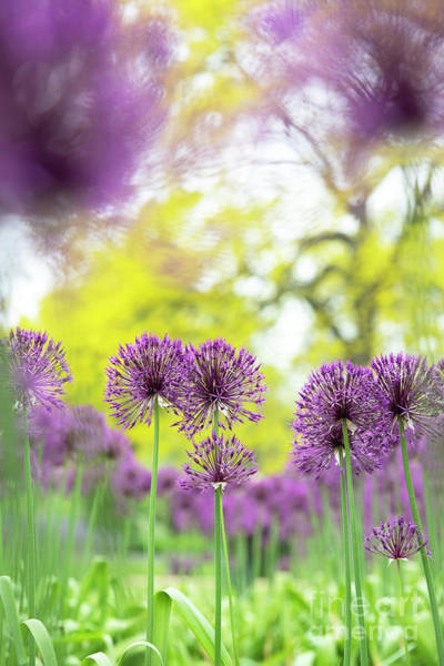 Wall Art - Photograph - Allium Purple Rain Flowers In Spring by Tim Gainey