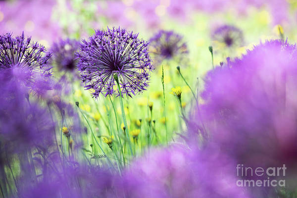 Wall Art - Photograph - Allium Purple Rain by Tim Gainey