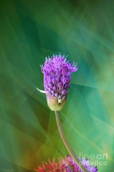 Wall Art - Photograph - Allium - Ready To Burst by Mary Machare
