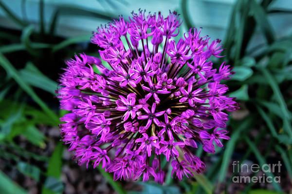 Scallion Photograph - Allium by Robert Bales