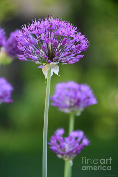 Wall Art - Photograph - Allium Standing Tall by Mary Machare