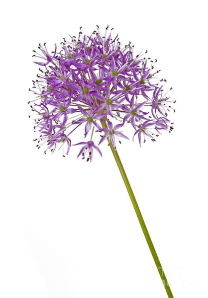 Wall Art - Photograph - Allium by Tony Cordoza