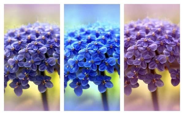 Photograph - Allium Triptych by Jessica Jenney