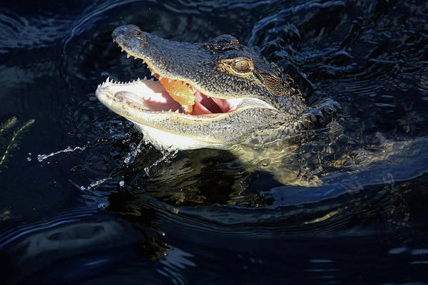Gator Wall Art - Photograph - Ally by Donna Kennedy