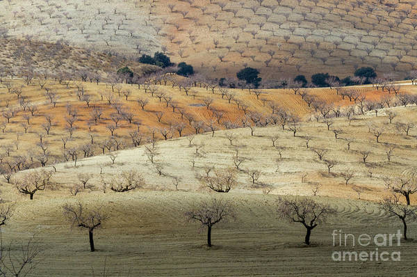 Photograph - Almond Plantations by Heiko Koehrer-Wagner