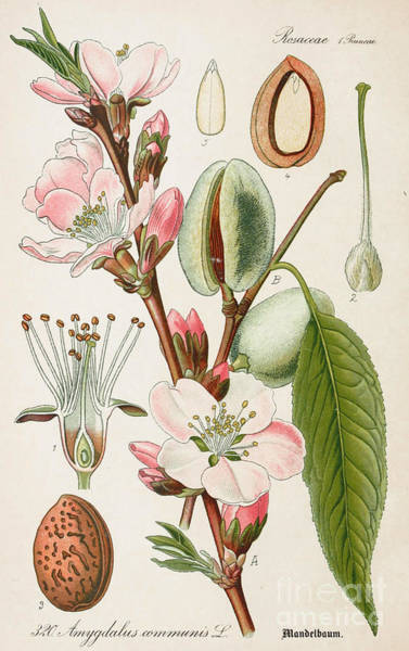 Almond Painting - Almond Antique Botanical Illustration From Flora Of Germany  by Celestial Images