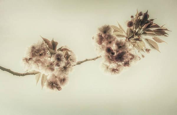 Wall Art - Photograph - Almond Blossom by Hans Zimmer