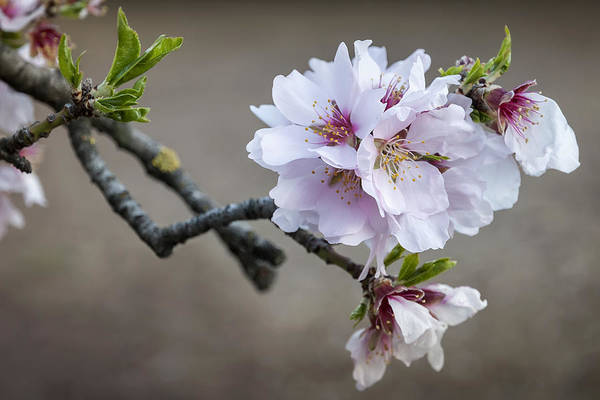 Vegetal Photograph - Almond I by Hernan Bua