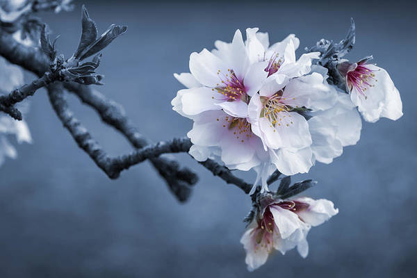 Vegetal Photograph - Almond Iv by Hernan Bua