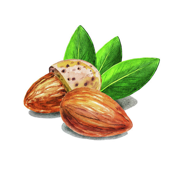 Painting - Almond Nuts Watercolor Food Illustration  by Irina Sztukowski