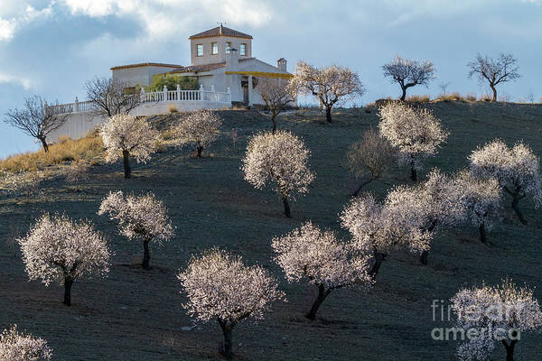 Photograph - Almond Plantation by Heiko Koehrer-Wagner
