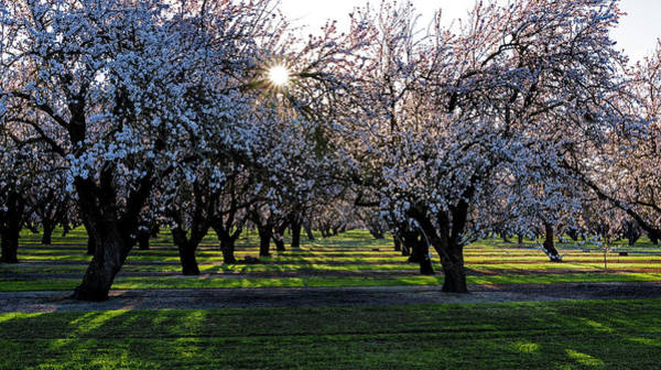 Photograph - Almond Sunrise by Janet Kopper