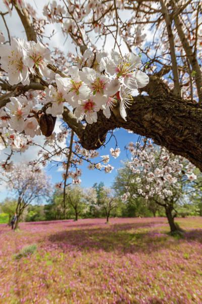 Nature Wall Art - Photograph - Almond Tree Flowers Against A Purple Flower Bed by Iordanis Pallikaras