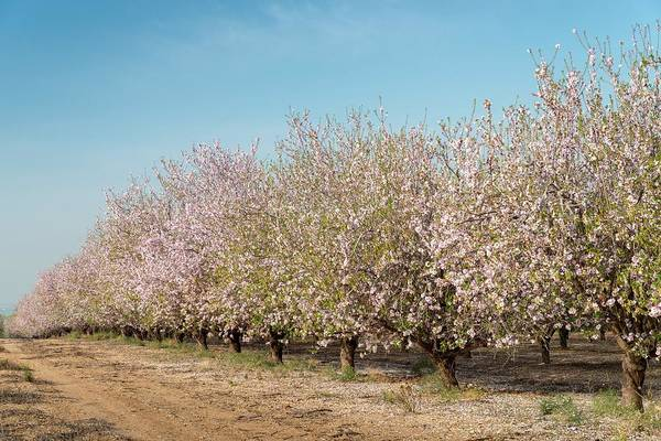 Photograph - Almond Tree Path In Israel by Alexandre Rotenberg