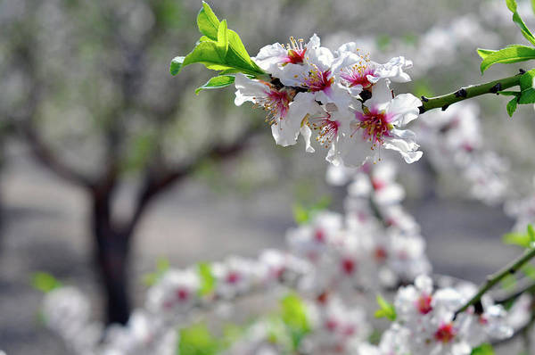 Photograph - Almonds In Lachish by Dubi Roman