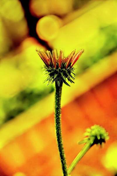 Photograph - Almost A Cone Flower by Kay Brewer