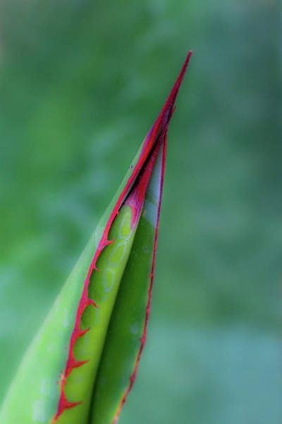 Photograph - Aloe 7110-042418-1 by Tam Ryan
