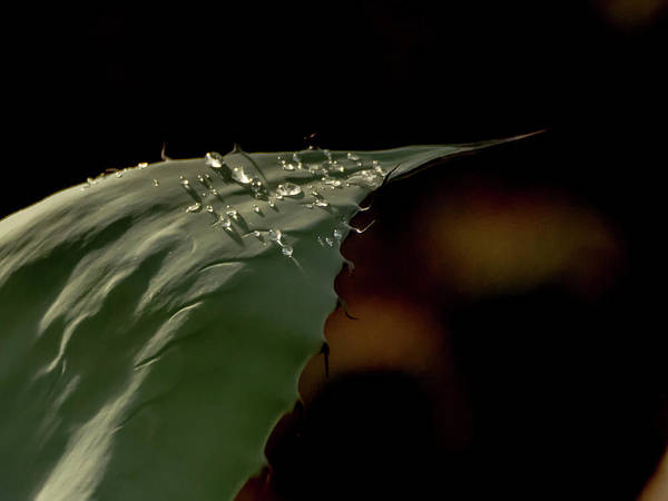 Photograph - Aloe And Water Droplets by Tam Ryan
