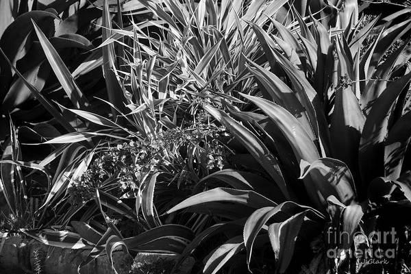Tonal Wall Art - Photograph - Aloe In Black And White by John Clark