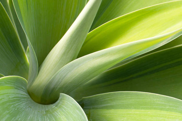 Wall Art - Photograph - Agave Leaves by Catherine Lau