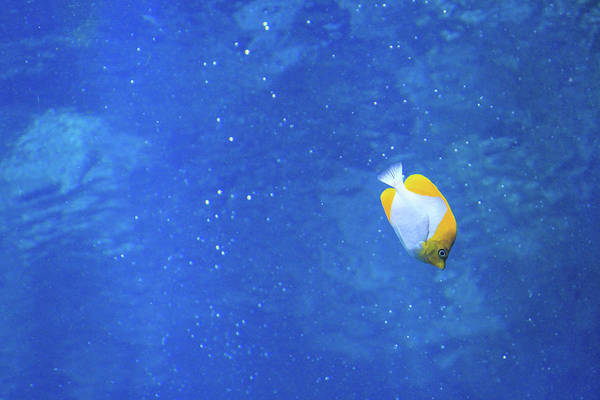 Photograph - Alone Again Butterflyfish by Bonnie Follett