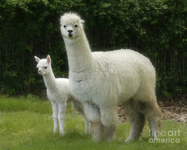 Alpaca Wall Art - Photograph - Alpaca And Foal by Garry McMichael