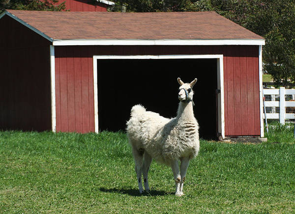 Photograph - Alpaca And Red Shed by William Selander