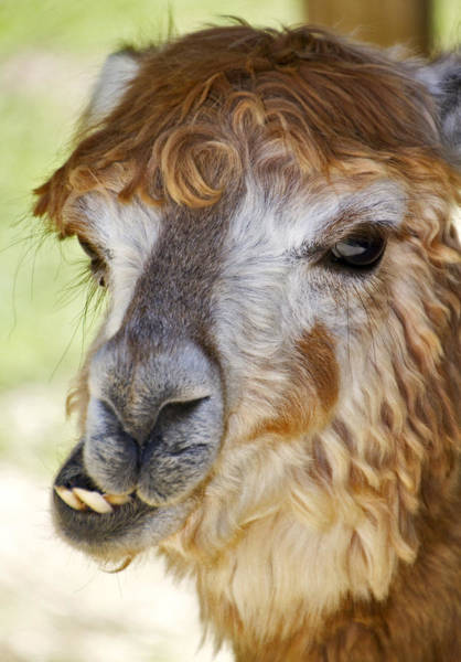 Photograph - Alpaca by Bob Slitzan