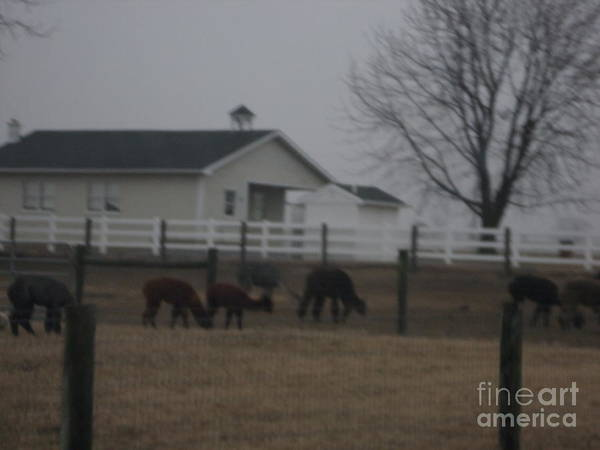 Photograph - Alpaca Farm by Christine Clark