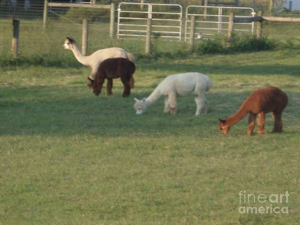 Photograph - Alpaca Farm In The Evening by Christine Clark