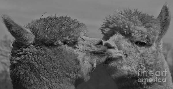Wall Art - Photograph - Alpaca Friends by Robert Pilkington