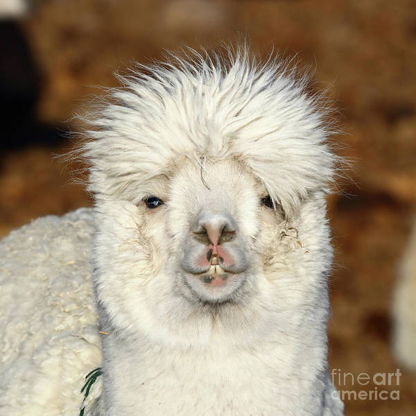 Photograph - Alpaca Hair Fashion by James Brunker