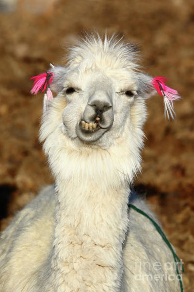 Photograph - Llama Humor by James Brunker