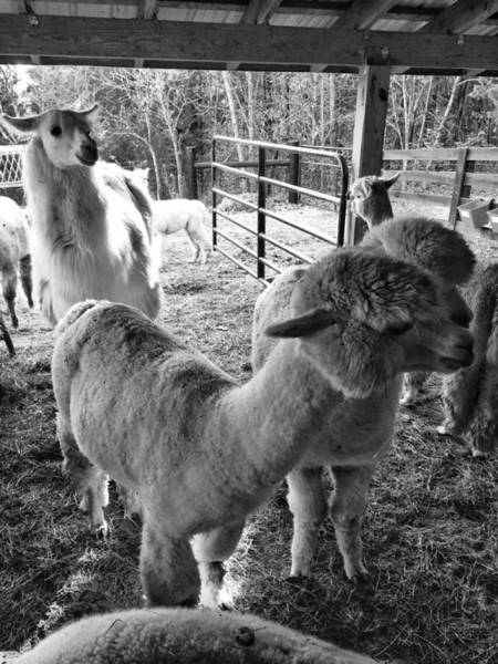 Alpaca Meeting  Art Print
