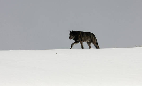 Photograph - Alpha Male Wolf by Ronnie and Frances Howard
