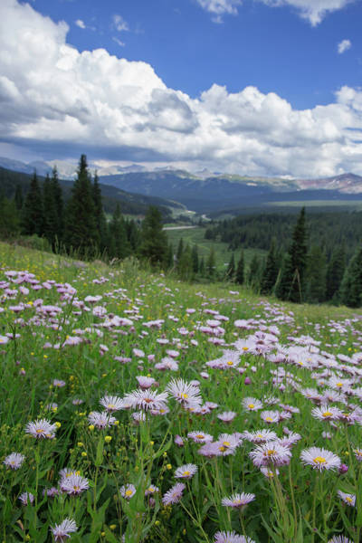 Aster Photograph - Alpine Aster Adorn A Ridge On Vail Pass Colorado by Bridget Calip