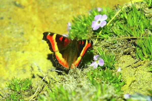Tundra Swan Photograph - Alpine Butterfly  by Jeff Swan
