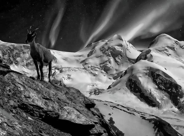 Photograph - Alpine Mountain Goat by Anthony Dezenzio