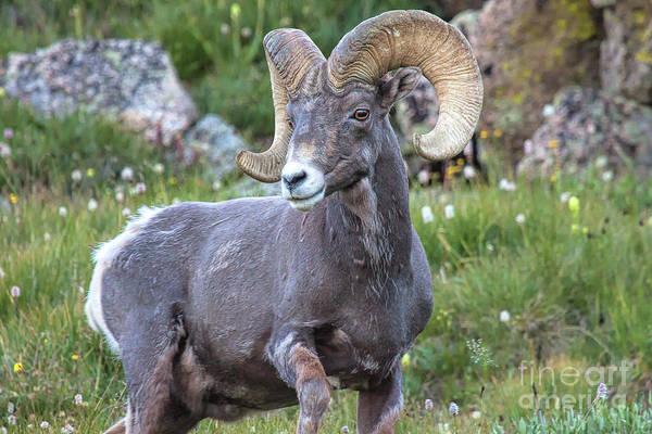 Photograph - Alpine Ram by Jim Garrison