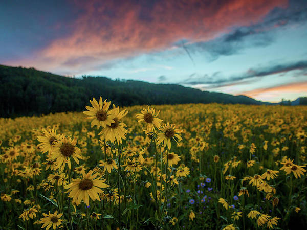 Wall Art - Photograph - Alpine Sunflowers - Washington Gulch by Bridget Calip