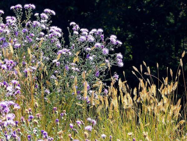 Wall Art - Photograph - Alpine Thistles And Grasses by Will Borden