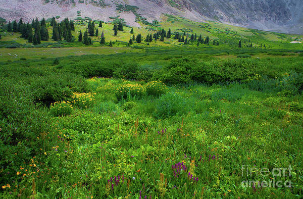 Photograph - Alpine Wildflowers by Barbara Schultheis