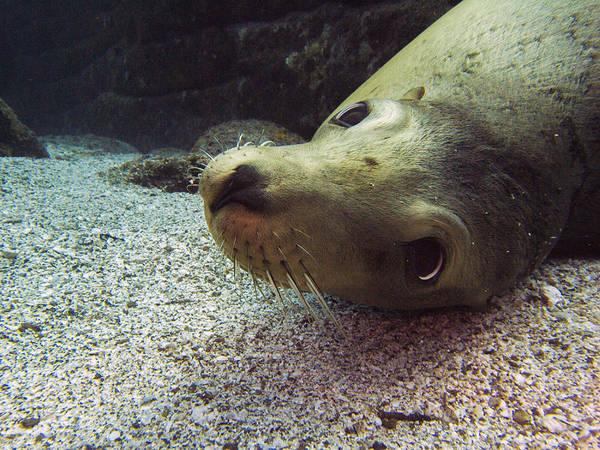 Photograph - Am I Cute? Asks The Sea Lion by Matt Swinden