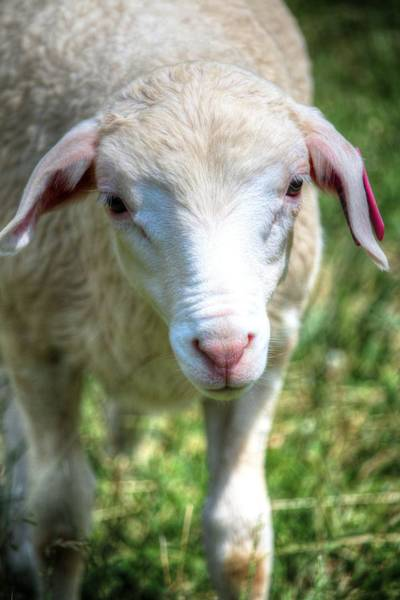 Photograph - Am I Not The Cutest Lamb You Ever Did See by Carol Montoya