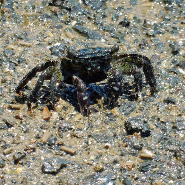 Photograph - Ama Crab by Pamela Walton