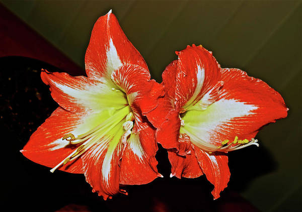 Photograph - Amaryllis Blossoms by Janis Nussbaum Senungetuk