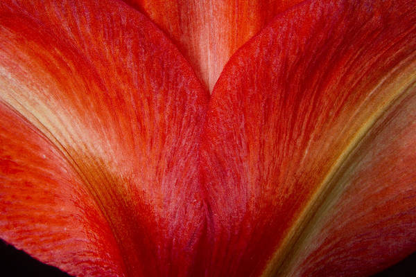 Photograph - Amaryllis Flower Petals by James BO Insogna