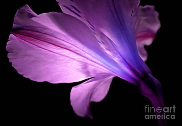 Amaryllis Photograph - Amaryllis Glow by Krissy Katsimbras