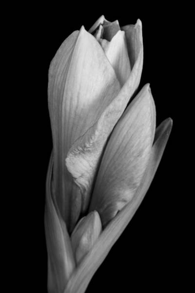 Photograph - Amaryllis In Black And White by James BO Insogna